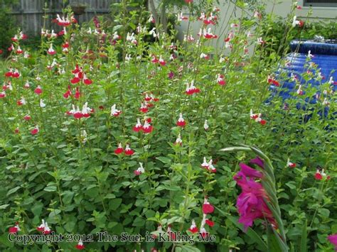 best plants for west side of house 23 best images about drought tolerant on pinterest gardens texas gardening and veronica