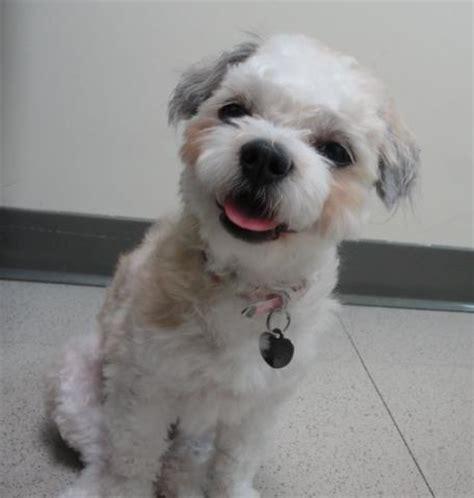maltese puppy rescue maltese rescue available dogs