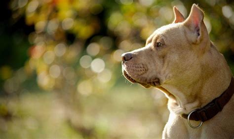 wallpaper desktop dog pitbull dog wallpapers wallpaper cave