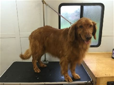 grooming golden retriever paws active paws mobile grooming cincinnati s mobile groomer golden retriever breed info