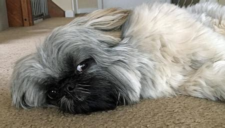 shih tzu whispers the shih tzu dogs daily puppy