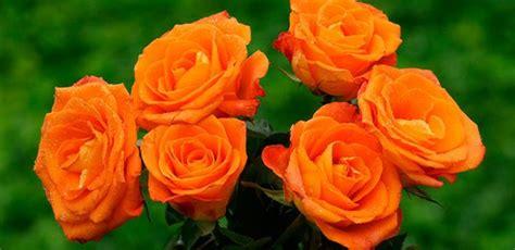 imagenes flores naranjas image gallery rosas naranjas