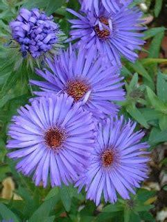 Aster Kombinasi bunga aster toko bunga cyrosella tentang bunga