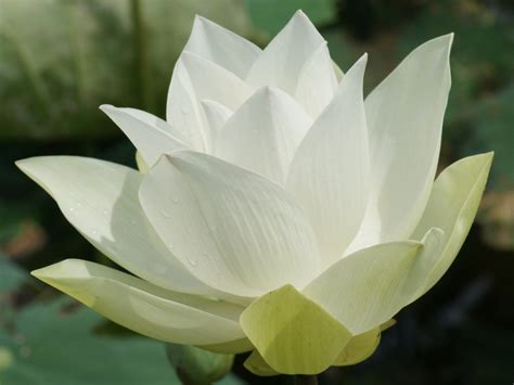 lotus flower lotus flowers flower hd wallpapers images pictures