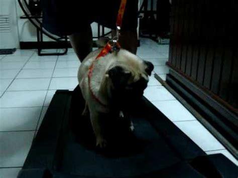 pug on treadmill our pug on the treadmill