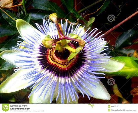 fiore frutto della passione fiore frutto della passione fotografia stock
