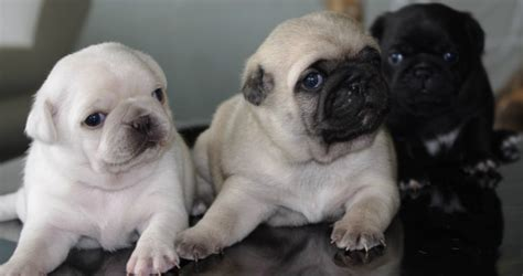 white pugs puppies black fawn white pug puppies pugs my unhealthy obsession