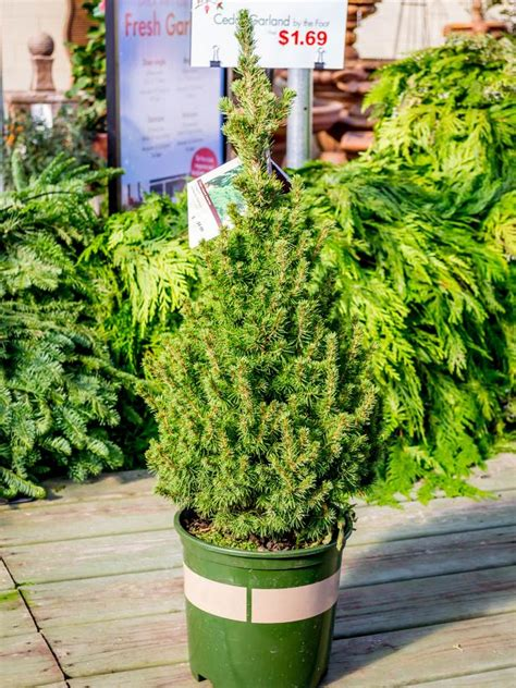 taking care of christmas trees living tree care guide hgtv