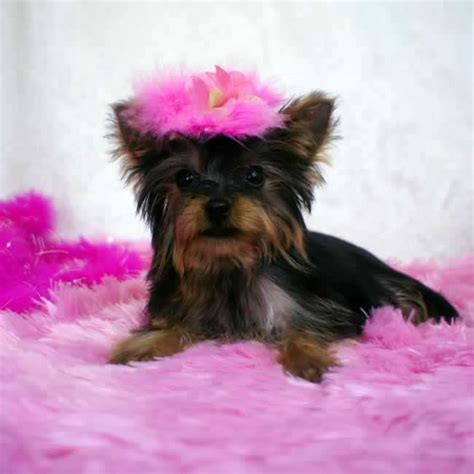 teacup yorkies for sale in tucson az white teacup yorkie puppies sale