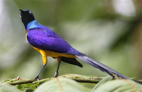 20 Singapore Seri Yellow Breasted Bird golden breasted starling