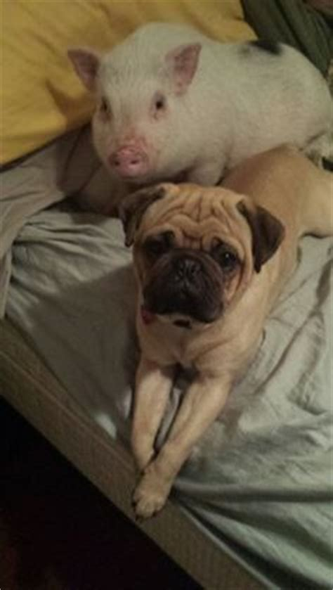 pig and pug pigs pugs on pugs pigs and pet pigs