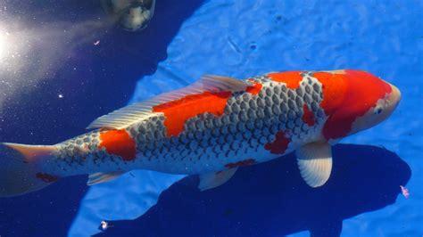 Cacing Kering Untuk Cupang jenis ikan hias air tawar termahal di indonesia murai net
