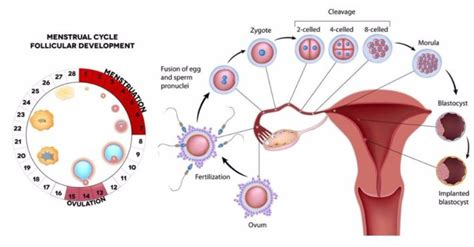 menstrual cycle after c section first menstrual cycle after c section 28 images