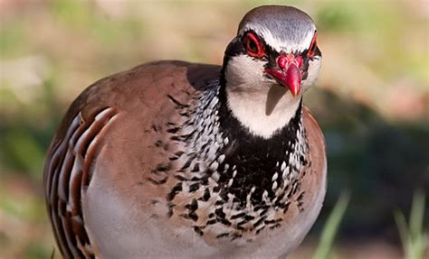 wild scottish red legged partridge dartagnan