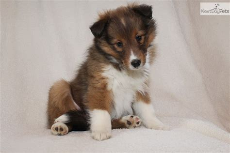 sheepdog puppies for sale sheltie mix puppies sale ohio images