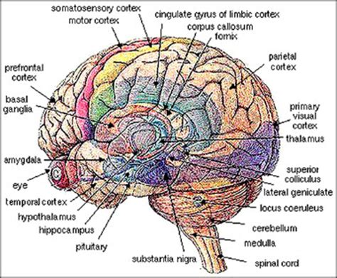 sections of the brain and what they do math has its own brain region science and nonduality