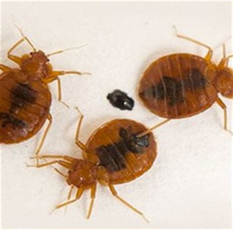 bed bug spray reviews  works