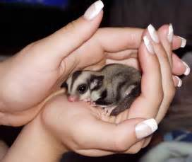 sugar glider eye abscess virtuavet