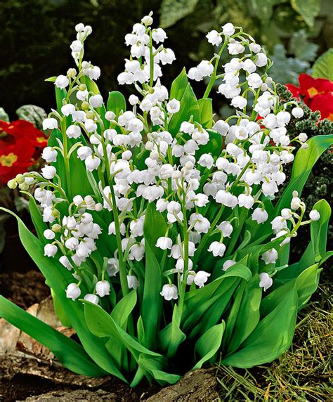 fiori mughetti acquista mughetti bakker