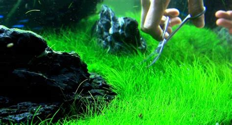 membuat karpet aquascape persiapan membuat aquascape aquarium taman air aquascape