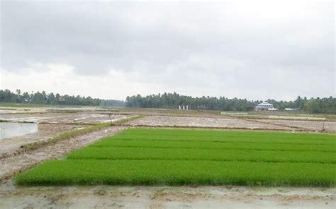 Bibit Padi 14 tahap cara sukses tanam padi yang baik hasil melimpah