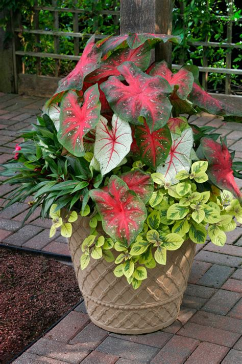 container gardens for shade the striking shade loving caladiums are the thrillers the