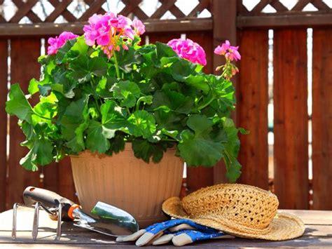 plant geraniums diy