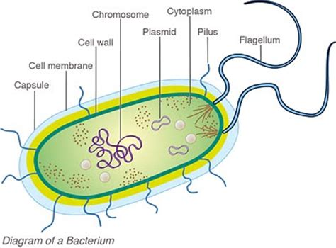 bacterial cell diagram the roles of bacteria in corals experiment