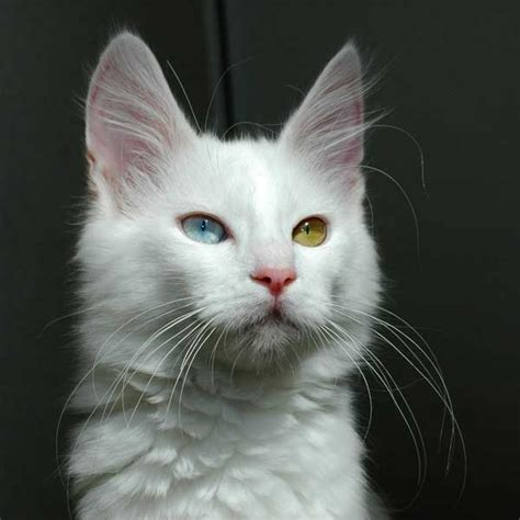 white cat with odd eyes and i think to myself what a wonderful world september