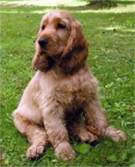 cuanto sale un chow chow toutes les races de chiens de la fci scc classification