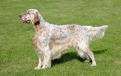 italian setter dog italian woman wins right to sick pay to care for dog the
