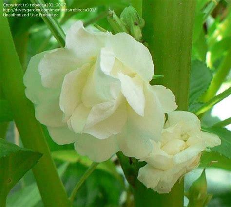 Sale White Camellia Impatiens plantfiles pictures impatiens balsam touch me not camellia flowered mix impatiens