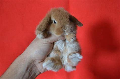 coniglio da appartamento cuccioli conigli nani ariete a roma da all a tuscolano