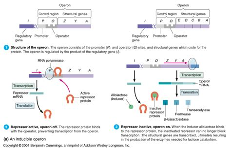 r protein operon lac and trp operon theory p h a r m a c y s t u d e n t