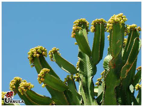 cactus candelabro 218 rsula atacado produtos suculentas cactus cacto