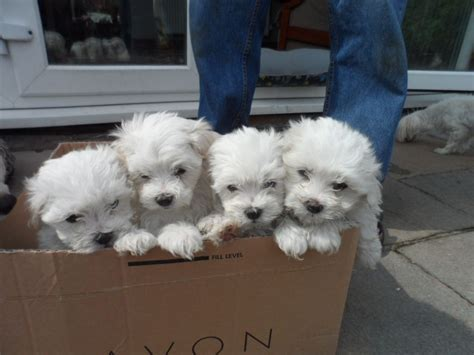 maltichon puppies maltichon puppies for sale wrexham wrexham pets4homes