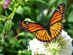 mariposas pics la mariposa monarca 168 una incre 205 ble traves 205 a 168
