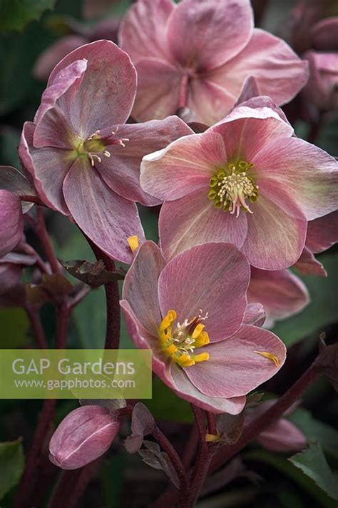 gap gardens helleborus spring promise image no 0331543 photo by marg cousens