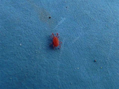 milben in der wohnung die kleine rote spinne die mir gestern 195 194 188 ber den weg