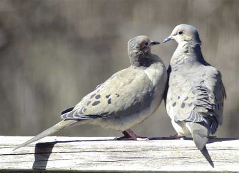 mourning doves mate for life i love their coo birds