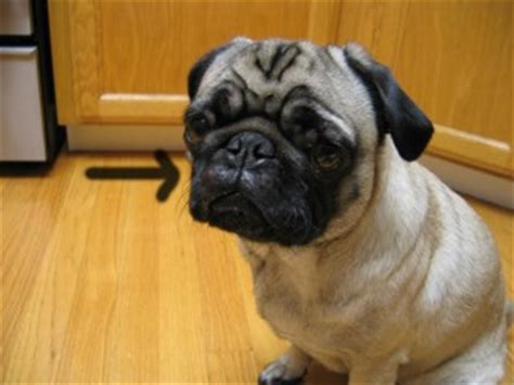 pugs allergies go pug yourself allergy update