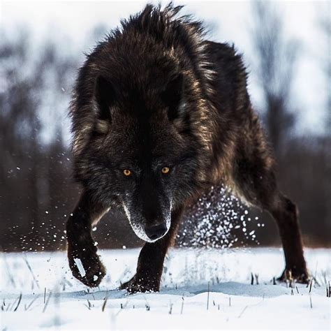 25+ best ideas about Angry wolf on Pinterest   Wolf ... Growling Black Wolf With Yellow Eyes