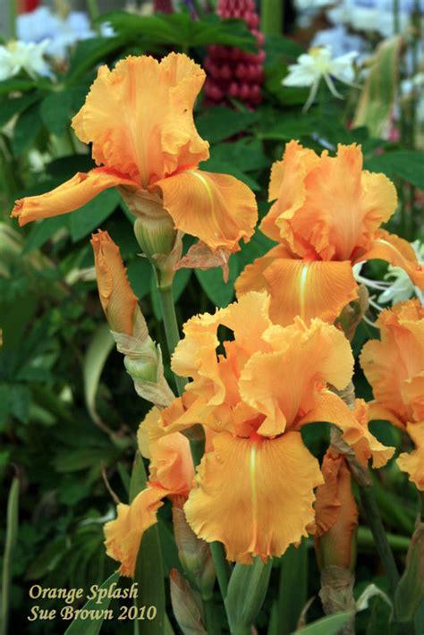 plantfiles pictures tall bearded iris orange splash
