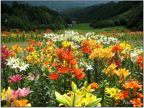 lilies garden more beautiful by asiatic flower home