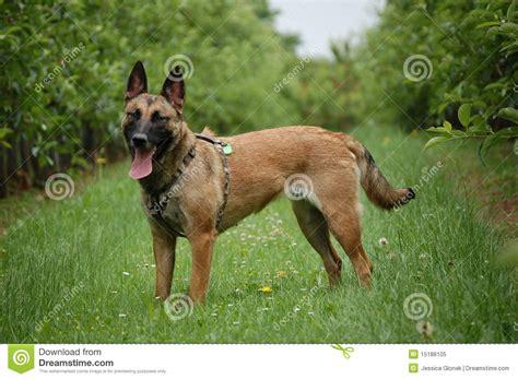 german shepherd puppies columbus ohio german shepherd mix puppy for sale in columbus ohio ruger breeds picture