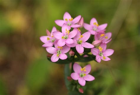 common centaury centaurium erythraea wildflowers in an