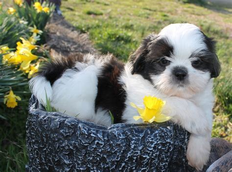 shih tzu family 10113 best shih tzu images on shih tzu shih tzus and puppies