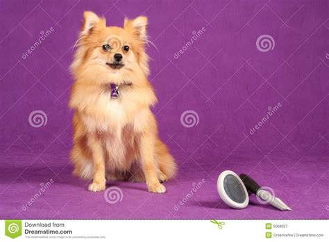 pomeranian brush pomeranian puppy with grooming brushes royalty free stock photography image 5068027
