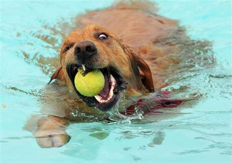 golden retrievers in pool 12 reasons why you should never plan a golden retriever