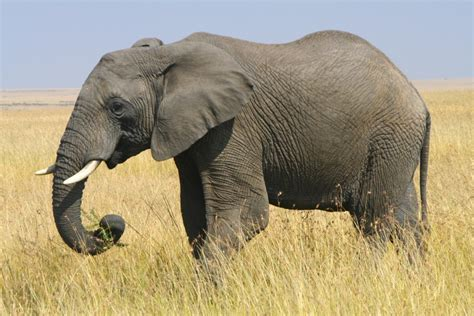 African Elephant   notesfromcamelidcountry